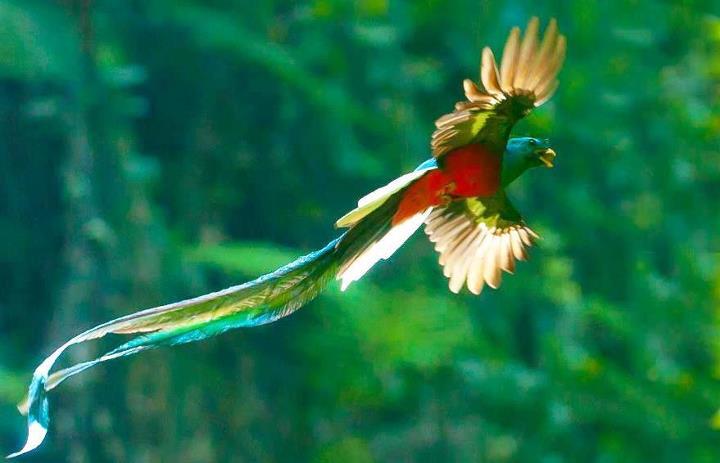 Galería – fotos del Quetzal, ave nacional de Guatemala