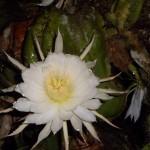 Cactus que solo florea una noche por ano - foto por Finca Ixobel