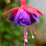 Flor, llamada Fucsia - foto por Rodrigo Motta