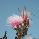 Flor que se ve en Guatemala -Gila, Bailarina, Clavelina, Sospó, su nombre científico es Pseudobombax Ellipticum - foto por José Joaquín Pérez