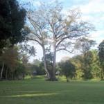 Ceiba Pentandra, simbolo nacional de Guatemala - Silvia Sanchez