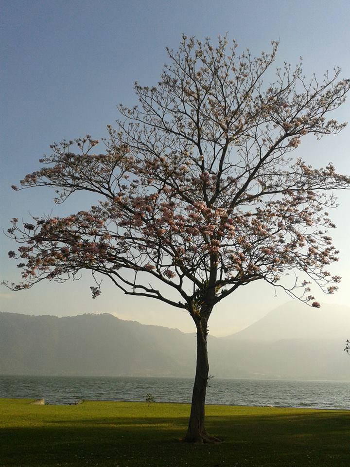 Árbol de Matilisguate en Amatitlán - foto por Mariella Buonafina