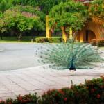 Pavo Real un atractivo del Hotel Amatique Bay en Puerto Barrios Izabal foto por Carlos Cordón 150x150 - Galeria - Fotos del Pavo Real