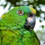 El Loro ave tradicional en Guatemla foto por Beto Bolaños 150x150 - Galería - Fotos de Guatemala por Alberto Bolaños