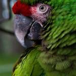 Guacamaya del Zoo Instituto de Recreación para los Trabajadores IRTRA Mundo Petapa foto por Karla Castellanos 150x150 - Galeria - Fotos de Guatemala por Karla Castellanos