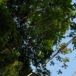 árboles las escobas 150x150 - Guía Turística - Las Escobas, Cerro San Gil, Izabal