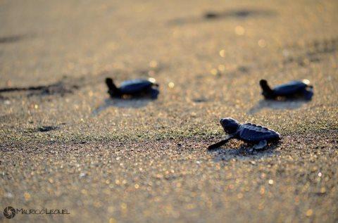 Liberación de tortugas en Monterrico MauricioLeonel - Las Atracciones de Monterrico, Santa Rosa