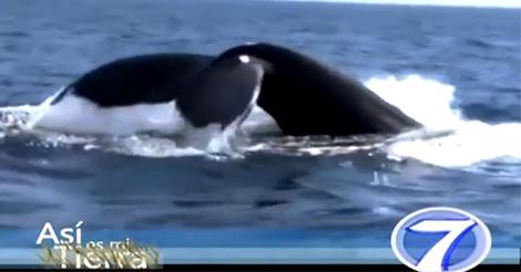 Video Turístico – Avistamiento de Ballenas, programa Asi es My Tierra