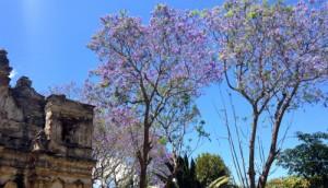 Jacaranda o Jacaranda mimosifolia D. Don.
