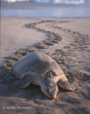 patrullate nocturno de tortugas en monterrico-2-mundochapin