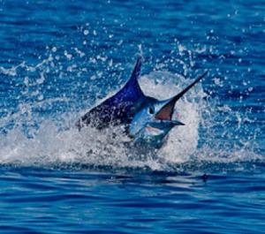 pesca deportiva 6 mundochapin 300x265 - Guía Turística - Pesca Deportiva en Guatemala