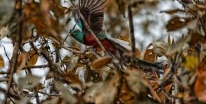 El Quetzal ave nacional foto por Carlos Villegas 300x151 - Galería - Fotos de Guatemala por Carlos Villegas