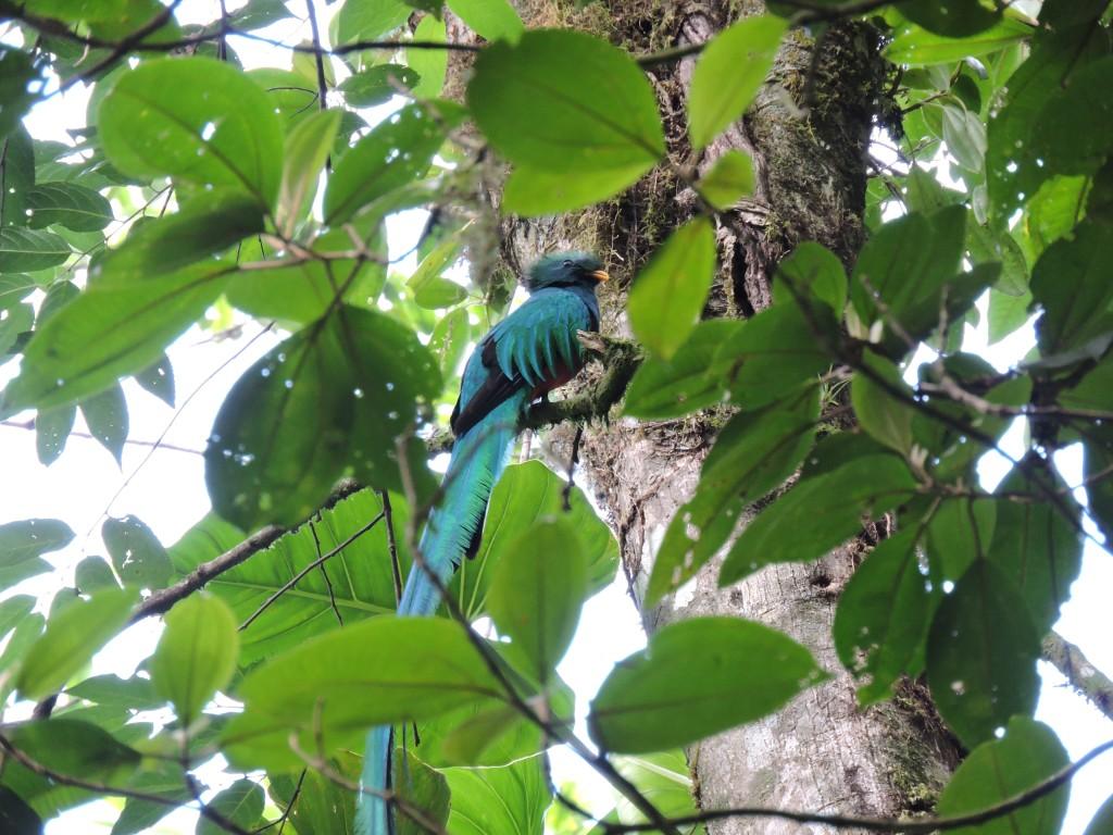 """""""Bajo el ala de grana y de oro Te adormeces del bello quetzal"""" En su habitad del bosque Nuboso, Refugio del Quetzal Fotografía María Rosa Reyes Galicia (instagram: Coicolori)"""