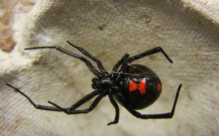 Viuda negra (Latrudectus Mactans)