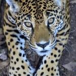 balam en peten por rony rodriguez de petenenfotos blogspot com 150x150 - Galeria de Fotos de Guatemala por Rony Rodriguez