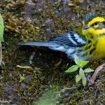 chipe reinita o townsends warbler en reserva rey tepepul santiago atitlan solola foto por luis burbano 150x150 - Galeria de Fotos de Guatemala por Luis Búrbano