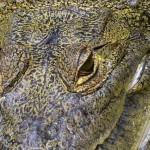 cocodrilo de morelet la especie de cocodrilo mas difundida en peten foto por rony rodriguez 150x150 - Galeria de Fotos de Guatemala por Rony Rodriguez