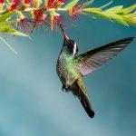 colibri orejudo blanco hylocharis leucotis white eared hummingbird en zona 13 ciudad de guatemala foto por luis burbano 150x150 - Galeria de Fotos de Guatemala por Luis Búrbano