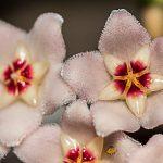 flor nombre de la flor es flor de cera foto por hugo altan 150x150 - Galeria de Fotos de Guatemala por Hugo Altán