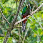 hembra de quetzal con gusano para sus pichones en san rafael pie de la cuesta san marcos guatemala foto por luis burbano 150x150 - Galeria de Fotos de Guatemala por Luis Búrbano