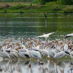 pelicano blanco o american white pelican miles de ellos en manchon guamuchal san marcos foto por luis burbano 150x150 - Galeria de Fotos de Guatemala por Luis Búrbano