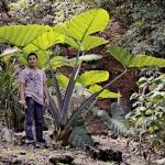 planta de malanga en peten foto por rony rodriguez www petenenfotos blogspot com 150x150 - Galeria de Fotos de Guatemala por Rony Rodriguez