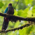 quetzal resplandeciente hembra refugio del quetzal san marcos foto por luis burbano 150x150 - Galeria de Fotos de Guatemala por Luis Búrbano