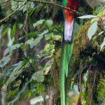 quetzal resplandeciente macho en refugio de san rafael pie de la cuesta san marcos foto por luis burbano 150x150 - Galeria de Fotos de Guatemala por Luis Búrbano