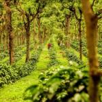 siembra de cafe finca el tempixque foto por carlos opez ayerdi 150x150 - Galeria de Fotos de Guatemala por Carlos Lopez Ayerdi