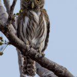 tecolotito ferruginous pygmy owl en sitio arqueologico guaytan el progreso foto por luis burbano 150x150 - Galeria de Fotos de Guatemala por Luis Búrbano