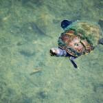 tortuga en el lago peten itza foto por rony rodriguez de www petenenfotos blogspot com 150x150 - Galeria de Fotos de Guatemala por Rony Rodriguez