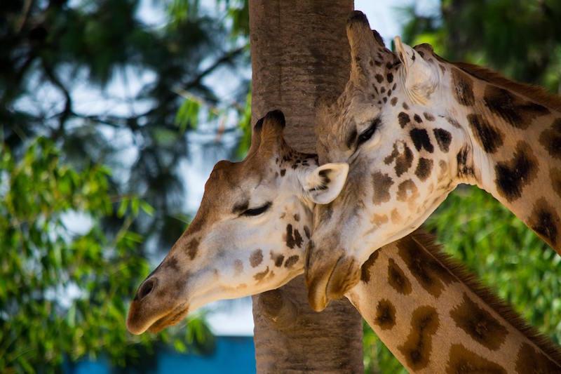 Cariño en el zoologico - foto por Cesar Santizo