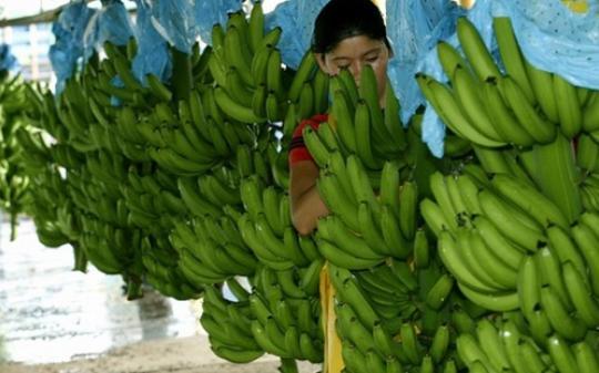 banano foto por expoguate rodolfo blogspot com - Principales productos de exportación de Guatemala en 2015
