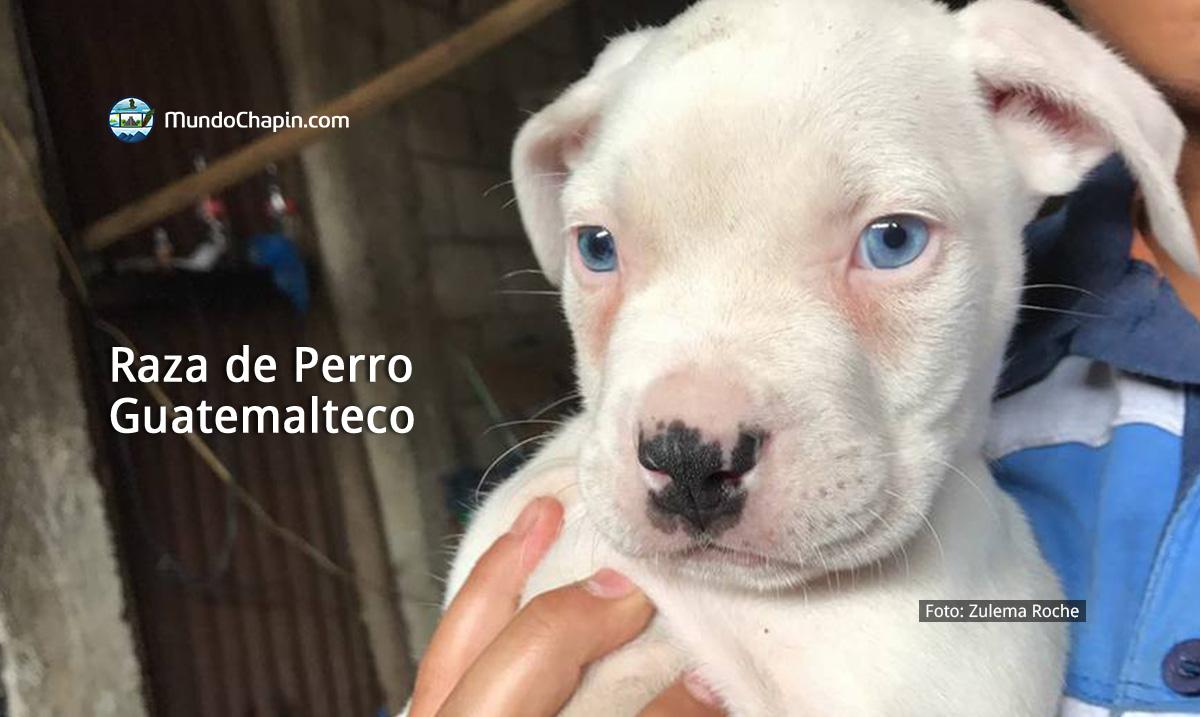Raza de Perro Oriundo de Guatemala