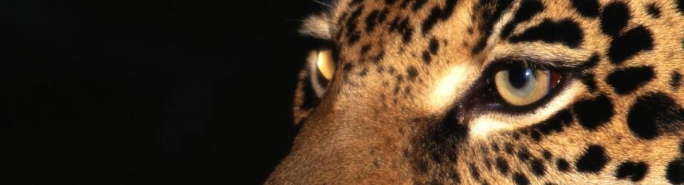 cropped night stalker jaguar1 - El Corredor del Jaguar