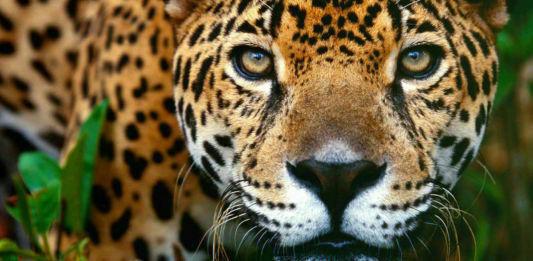 jaguar gt