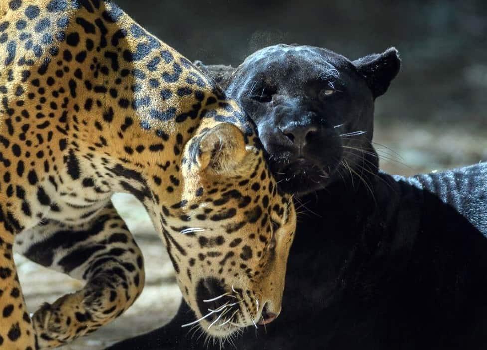 jaguar - El Corredor del Jaguar