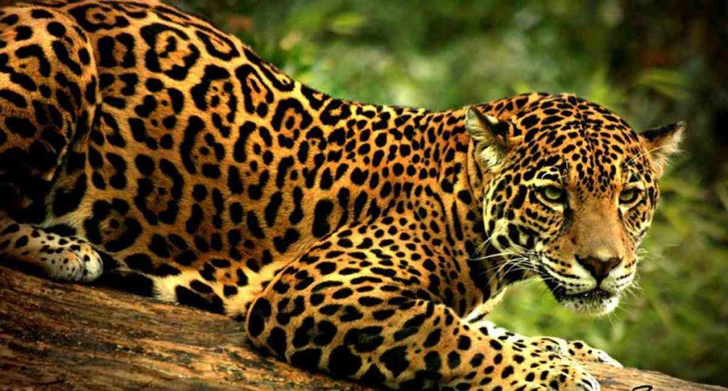 jaguar en arbol 1024x550 - Los felinos de Tikal