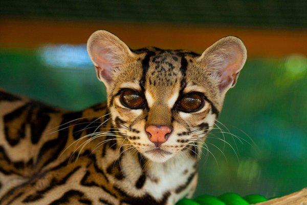 margay front view selva reserve carillo - Los felinos de Tikal
