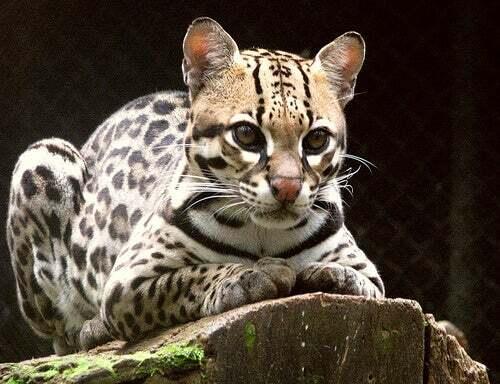 ocelote - Los felinos de Tikal
