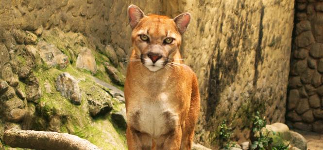 puma portada - Los felinos de Tikal