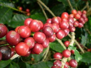 5274102616 2d34e05f96 n - 8 Variedades de Café Cultivadas en Guatemala