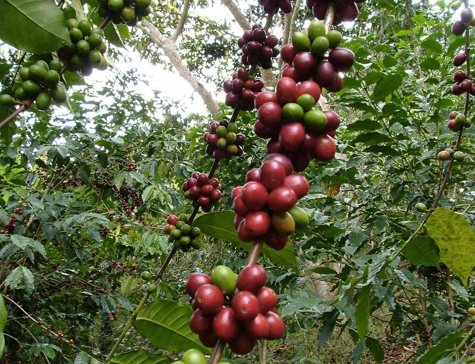 cafe bourbon - 8 Variedades de Café Cultivadas en Guatemala