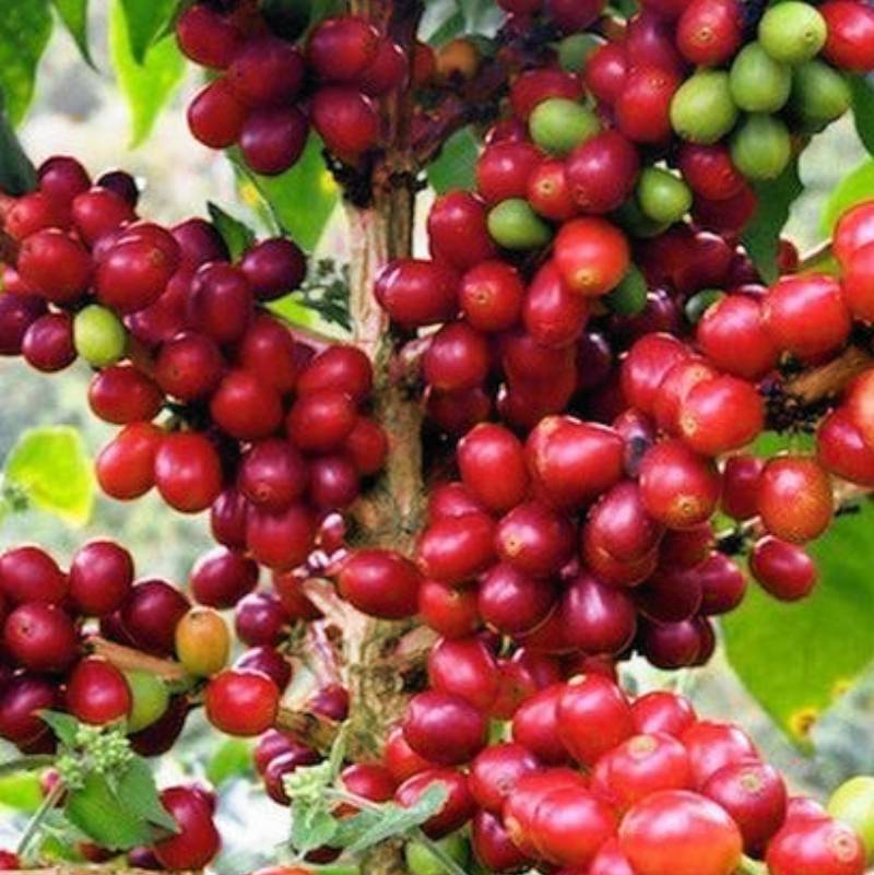 cafe caturra - 8 Variedades de Café Cultivadas en Guatemala
