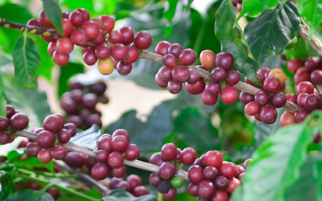 catuai 2 - 8 Variedades de Café Cultivadas en Guatemala