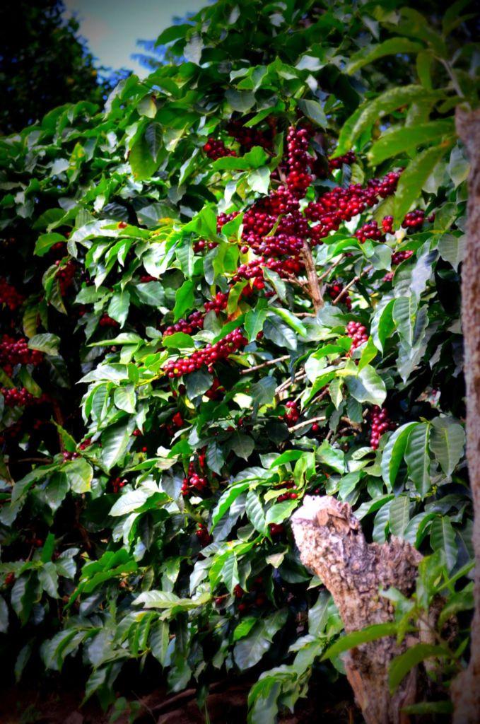 ce09825c2b552914e55e07f5c8a6bb00 679x1024 - 8 Variedades de Café Cultivadas en Guatemala