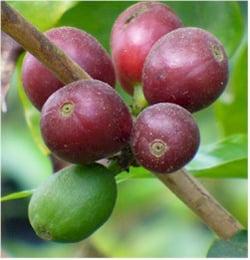 coffea arabica - 8 Variedades de Café Cultivadas en Guatemala