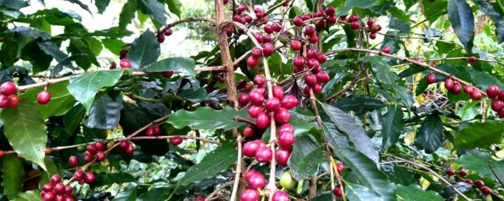 typica cover 1024x410 - 8 Variedades de Café Cultivadas en Guatemala